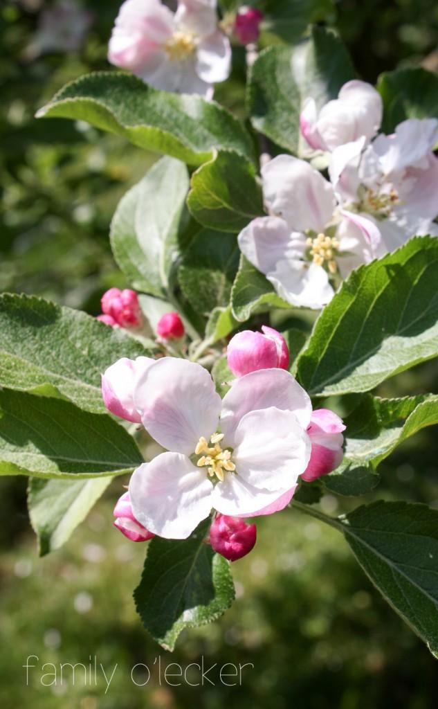 Berner Rosenapfel Blüte