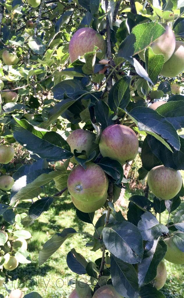 Berner Rosenapfel Frucht am Baum